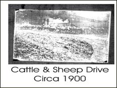 Cattle and Sheep Drive Circa 1900